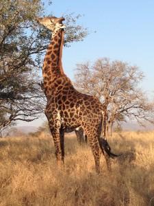 SA giraffe Werner Bayete Zulu August 2014